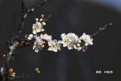 e5dee409-林敏郎2020-01-15-新社李花園_4608