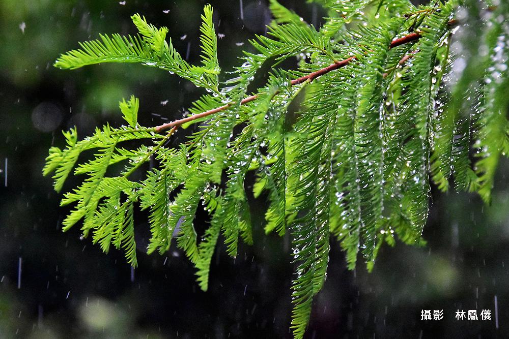 46林鳳儀-思念的雨FEN_7173