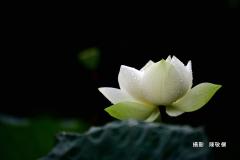 陳敬儒20190814_2163珠玉凝荷M