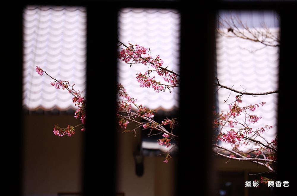10803-櫻花雪-陳香君 (4)