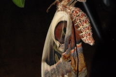 劉聰錫旋轉蛇頭蛾 (160)