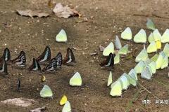 吳英助-蝴蝶-1