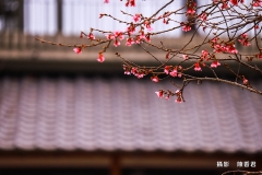 10803-櫻花雪-陳香君 (5)