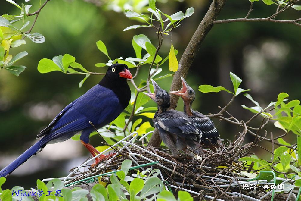 吳英助-藍鵲育雛-1
