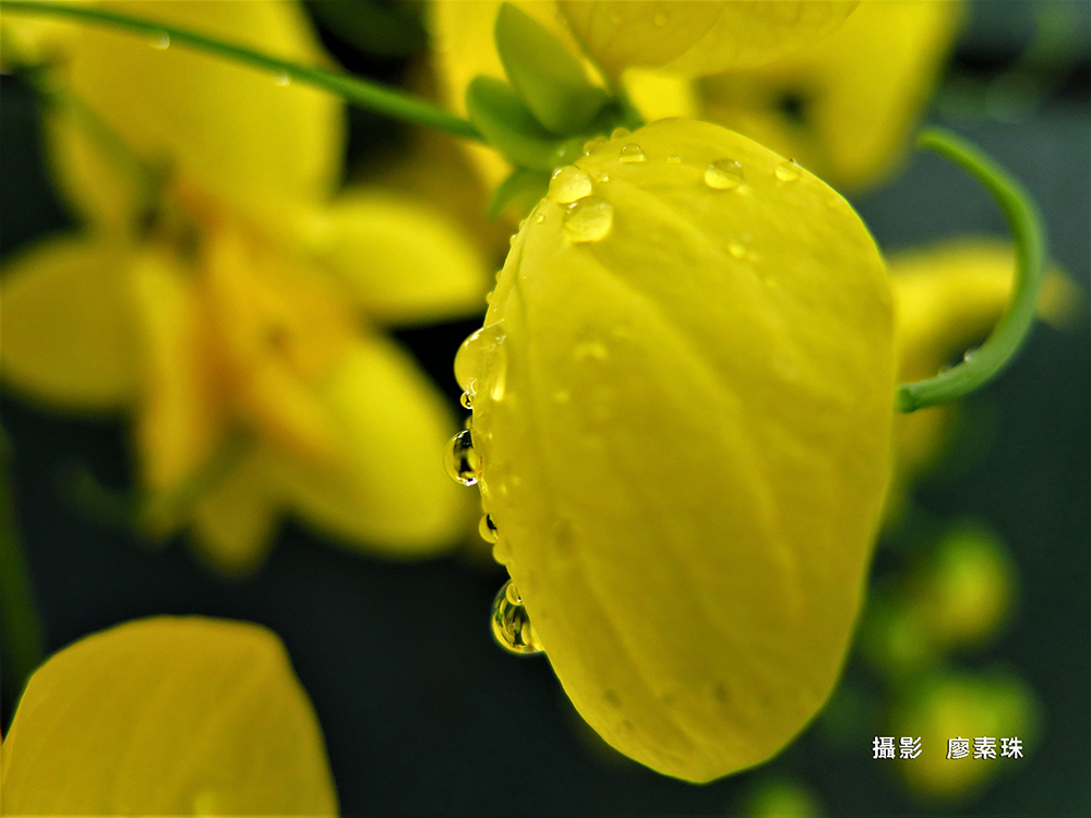 廖素珠 JPG 金色的雨滴@20190614雨中阿勃勒阿勃勒@20190614雨中V(26)n