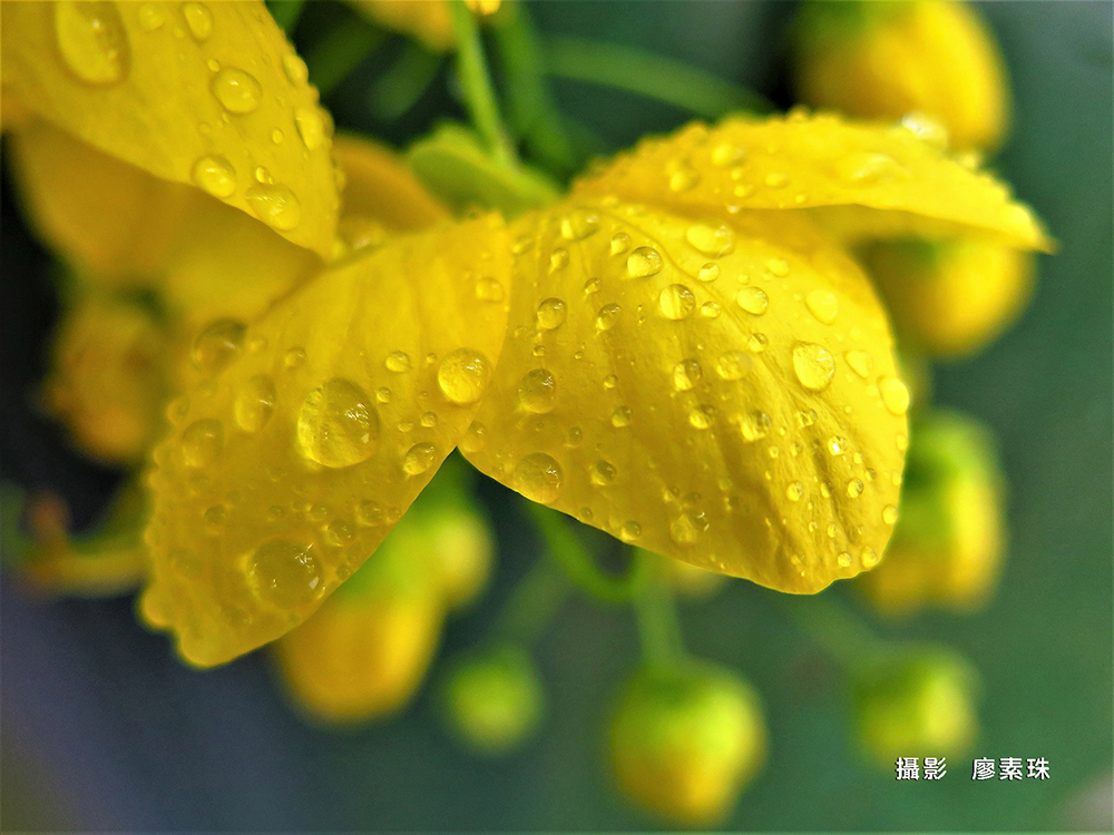 廖素珠 JPG 金色的雨滴@20190614雨中阿勃勒