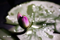 金色雨滴-陳香君 (2)